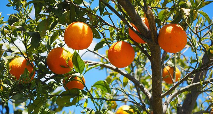 acuerdo-eu-china-naranjas-y-vnios-valencianos