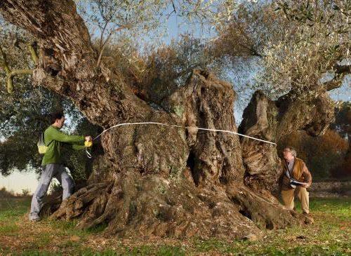 olivo-de-sinfo-en-traiguera